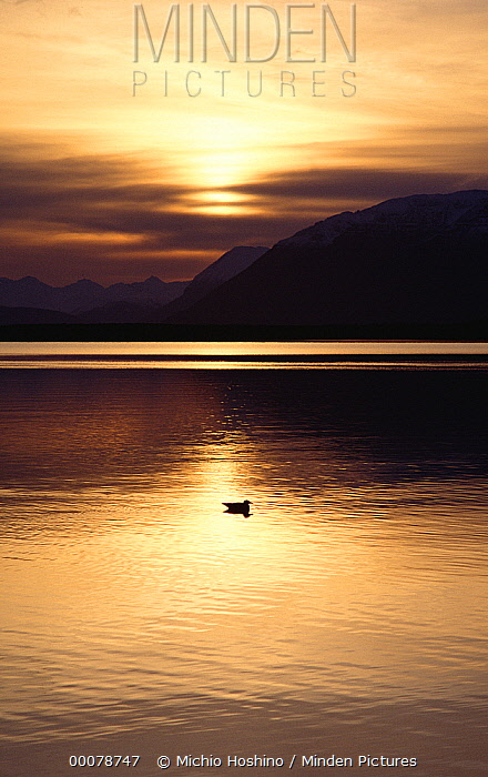 Glaucous-winged Gull (Larus glaucescens) at sunset, Alaska  -  Michio Hoshino
