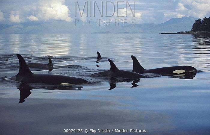 Orca (Orcinus orca) group, Johnstone Strait, British Columbia, Canada