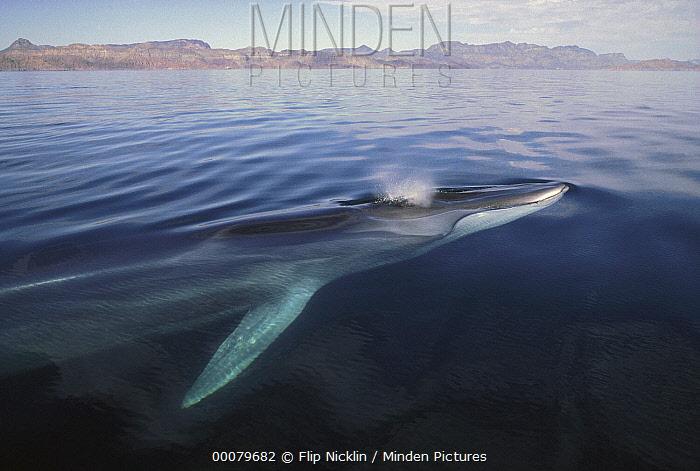 sFin Whale (Balaenoptera physalus) surfacing, Baja California, Mexico