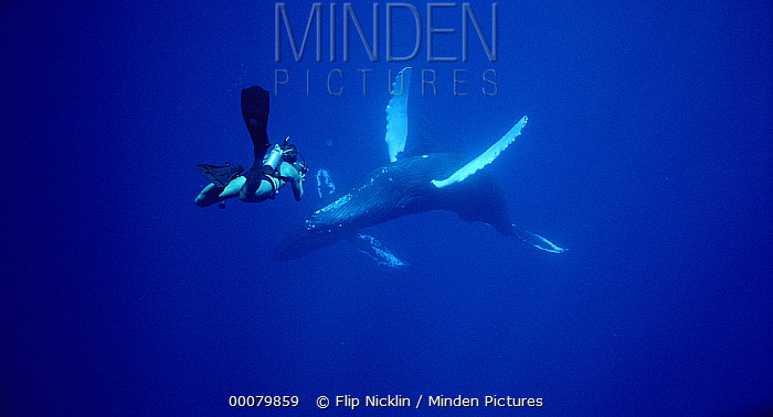 Humpback Whale (Megaptera novaeangliae) filmed by diver Chuck Nicklin, Maui  -  Flip Nicklin