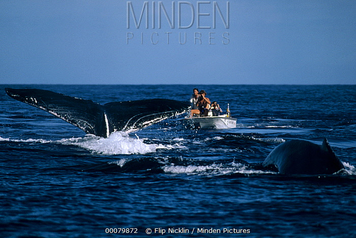 Humpback Whale (Megaptera novaeangliae) tail observed by biologists, Hawaii  -  Flip Nicklin