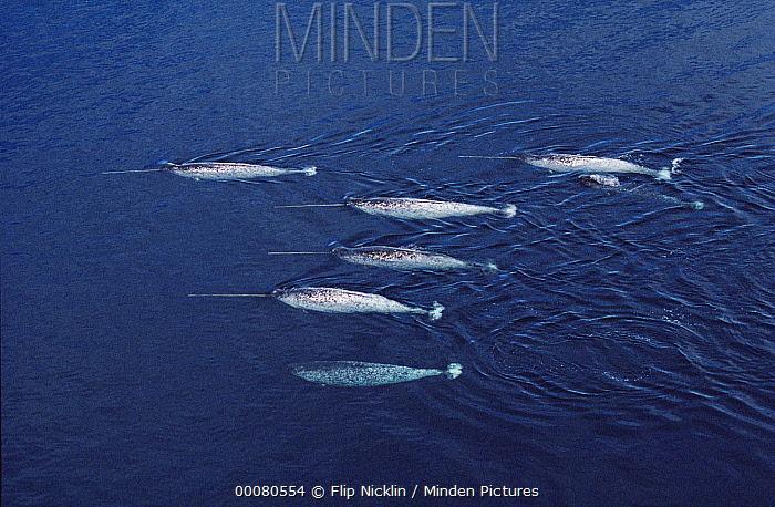 Narwhal (Monodon monoceros) aerial of pod, Lancaster Sound, Canada  -  Flip Nicklin