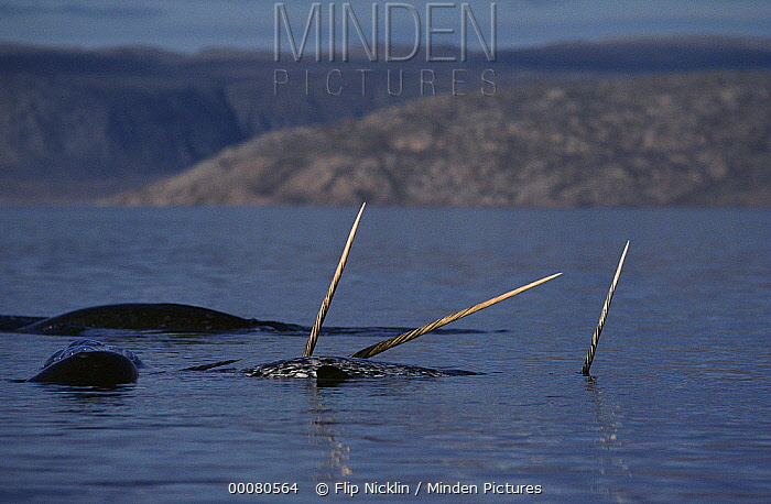 Narwhal (Monodon monoceros) group with tusks above surface, Baffin Island, Nunavut, Canada  -  Flip Nicklin
