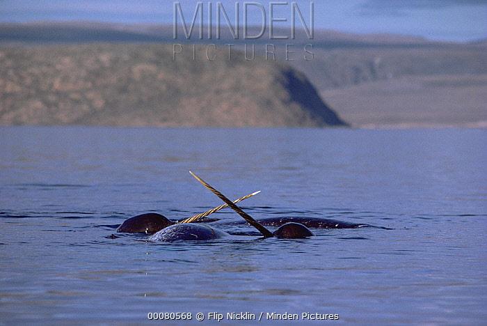 Narwhal (Monodon monoceros) fighting over carcass of dead female, Baffin Island, Canada  -  Flip Nicklin