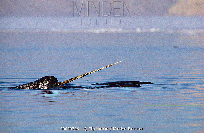 Narwhal (Monodon monoceros) male surfacing, Baffin Island, Nunavut, Canada  -  Flip Nicklin