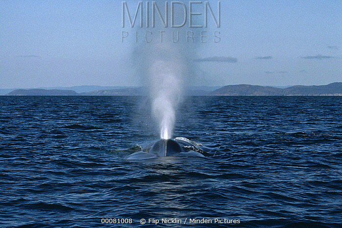 Blue Whale (Balaenoptera musculus) spouting, Sea of Cortez, Mexico  -  Flip Nicklin