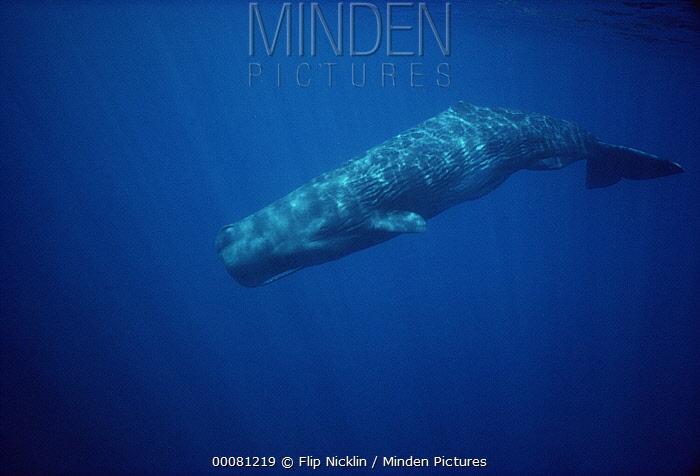 Sperm Whale (Physeter macrocephalus), Sri Lanka  -  Flip Nicklin