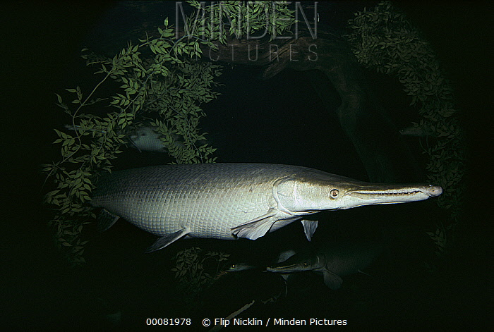 Alligator Gar (Lepisosteus spatula) largest of all gars can grow up to 300 pounds, native to the coastal plains of the Mississippi Basin and Gulf of Mexico  -  Flip Nicklin