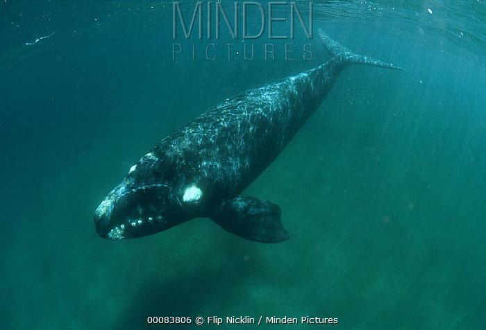 Southern Right Whale (Eubalaena australis) underwater portrait, Argentina  -  Flip Nicklin