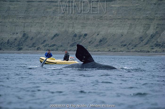 Southern Right Whale (Eubalaena australis) researchers Jim Darling and Roger Payne photographing flipper, Peninsula Valdez, Argentina  -  Flip Nicklin