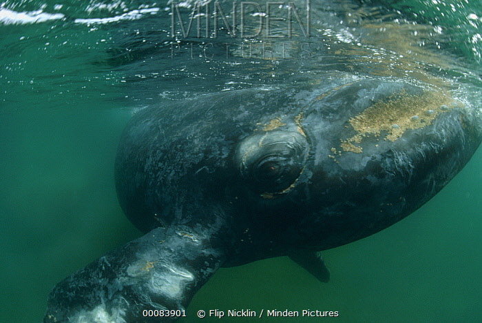 Southern Right Whale (Eubalaena australis), Argentina