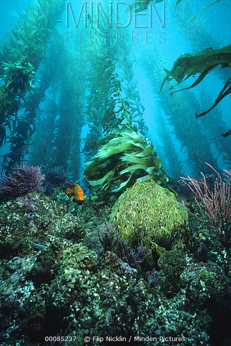 Giant Kelp (Macrocystis pyrifera) forest, with Garibaldi (Hypsypops rubicundus), Channel Islands National Park, California  -  Flip Nicklin