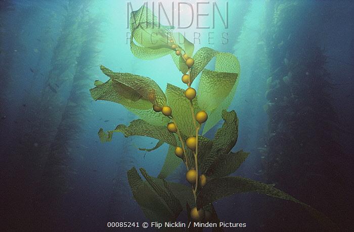 Giant Kelp (Macrocystis pyrifera) forest, Channel Islands National Park, California