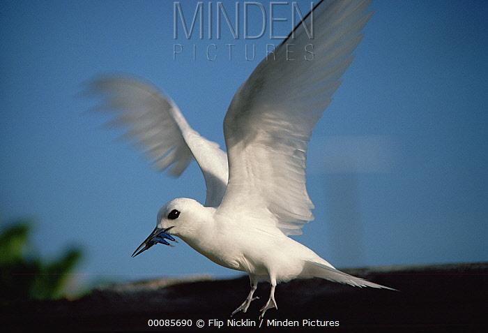 White Tern (Gygis alba) landing with fish to feed to its chick, Hawaiian Leeward Islands, Hawaii  -  Flip Nicklin