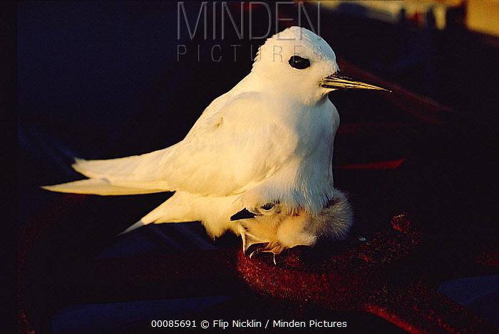 White Tern (Gygis alba) incubating egg, Hawaii  -  Flip Nicklin