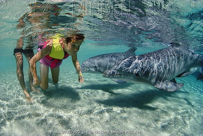 Bottlenose Dolphin (Tursiops truncatus) pair interacting with Steven Cleaver at the Dolphin Quest Learning Center, Waikoloa Hyatt, Hawaii  -  Flip Nicklin