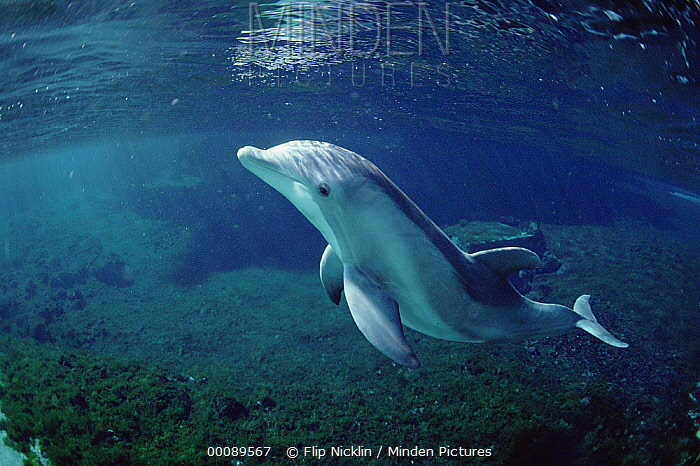 Bottlenose Dolphin (Tursiops truncatus) portrait underwater, Waikoloa Hyatt, Hawaii  -  Flip Nicklin