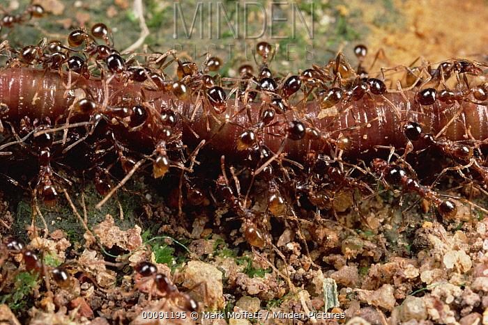 Marauder Ant (Pheidologeton diversus) swarm carrying earthworm back to nest, Malaysia  -  Mark Moffett