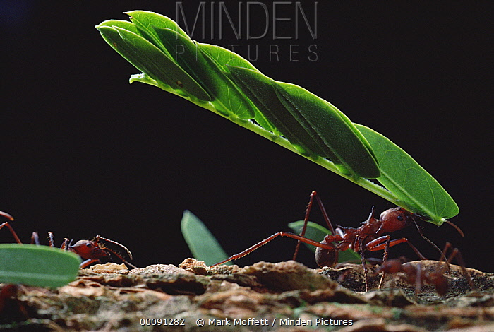 Leafcutter Ant (Atta sp) group group carrying leaves back to nest, Barro Colorado Island, Panama  -  Mark Moffett