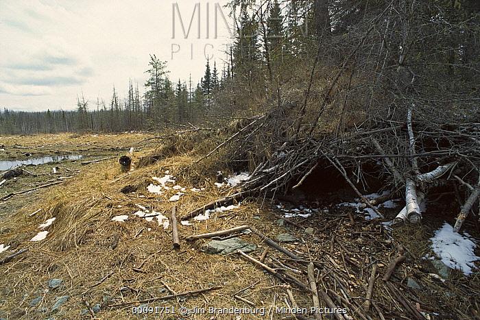 Timber Wolf (Canis lupus) den, Boundary Waters Canoe Area Wilderness, Minnesota  -  Jim Brandenburg