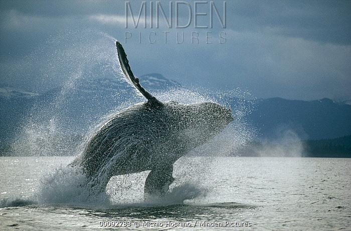 Humpback Whale (Megaptera novaeangliae) breaching, Southeast Alaska  -  Michio Hoshino