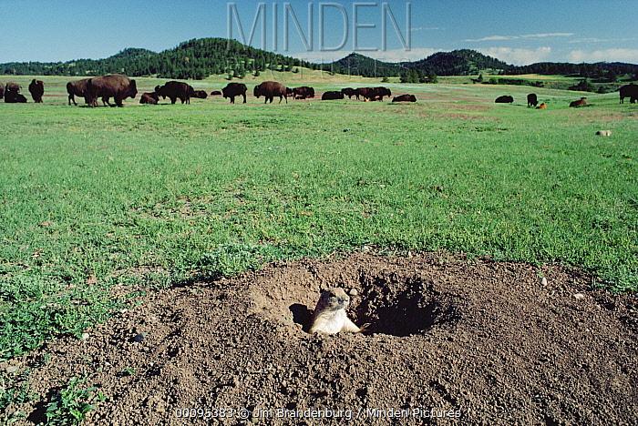 Black-tailed Prairie Dog (Cynomys ludovicianus) in burrow with American Bison (Bison bison) and Ponderosa Pines (Pinus ponderosa), Wind Cave National Park, South Dakota  -  Jim Brandenburg