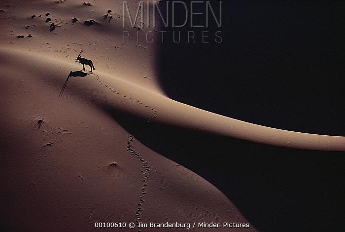 Gemsbok (Oryx gazella) on sand dune, Namib Desert, Namibia  -  Jim Brandenburg