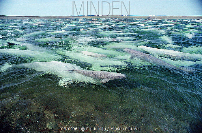Beluga (Delphinapterus leucas) pod swimming and molting in freshwater shallows, Somerset Island, Nunavut, Canada  -  Flip Nicklin