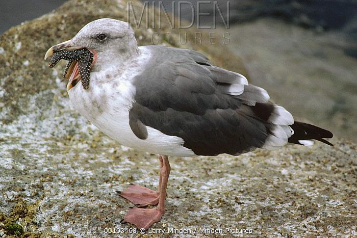 Western Gull (Larus occidentalis) eating Sea Star, California  -  Larry Minden