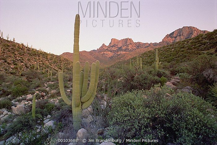 Saguaro (Carnegiea gigantea) cactus, Organ Pipe Cactus National Monument, Arizona  -  Jim Brandenburg