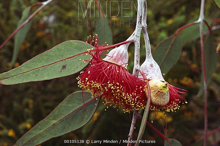 Gum Tree (Eucalyptus sp) close-up detail of blossom and leaves, UCSC Arboretum, Santa Cruz, California  -  Larry Minden