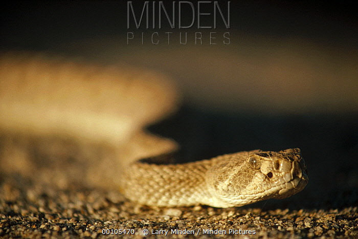 Red Rattlesnake (Crotalus ruber) close up of head, Baja California, Mexico  -  Larry Minden