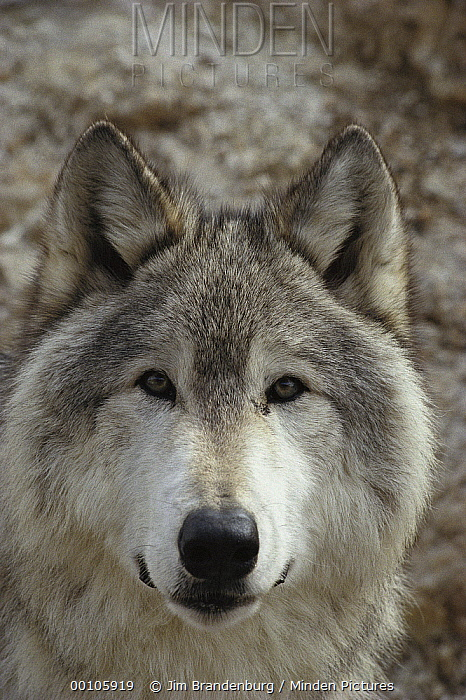 Timber Wolf (Canis lupus) portrait, Minnesota  -  Jim Brandenburg