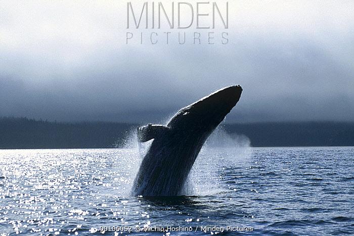 Humpback Whale (Megaptera novaeangliae) breaching, Alaska  -  Michio Hoshino