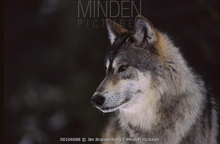 Timber Wolf (Canis lupus) portrait, Minnesota  -  Jim Brandenburg