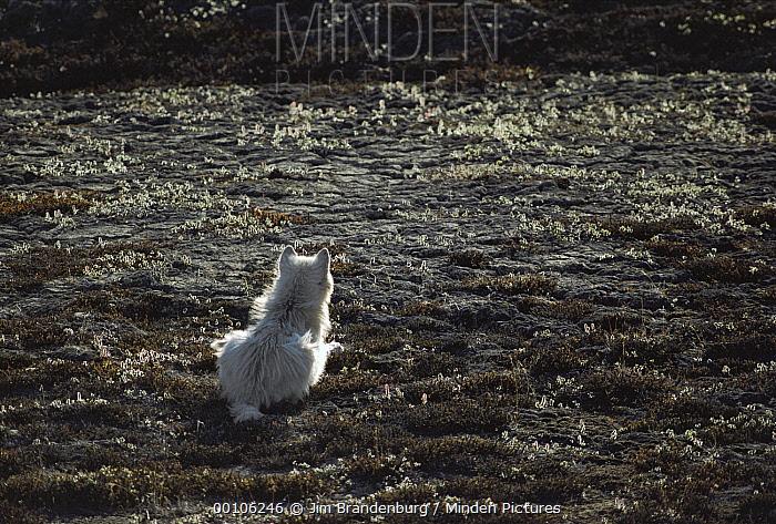 Arctic Wolf (Canis lupus) hunting, Ellesmere Island, Nunavut, Canada  -  Jim Brandenburg