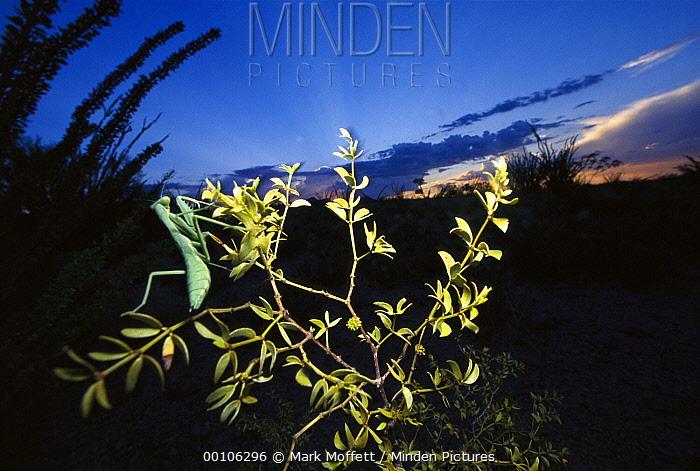 Arizona Mantis (Stagmomantis limbata) on Creosote bush, Tucson, Arizona  -  Mark Moffett