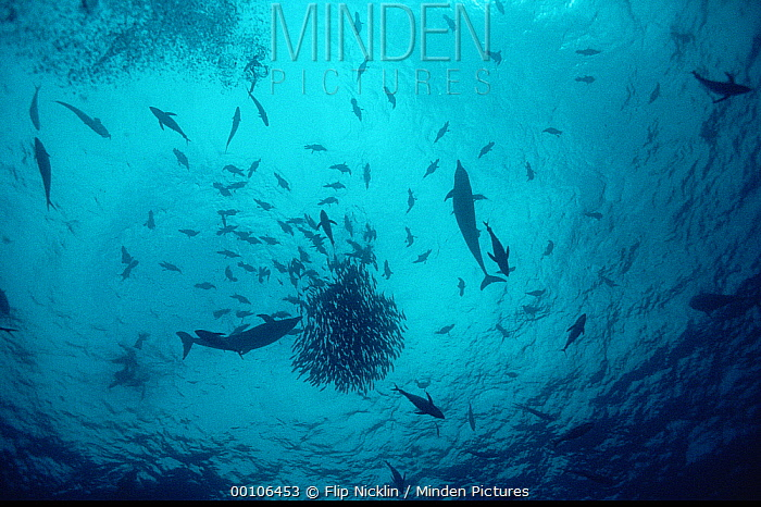 Tuna (Scombridae) and dolphins feeding on baitball that aggregated in great numbers under ocean debris, Cocos Island, Costa Rica  -  Flip Nicklin
