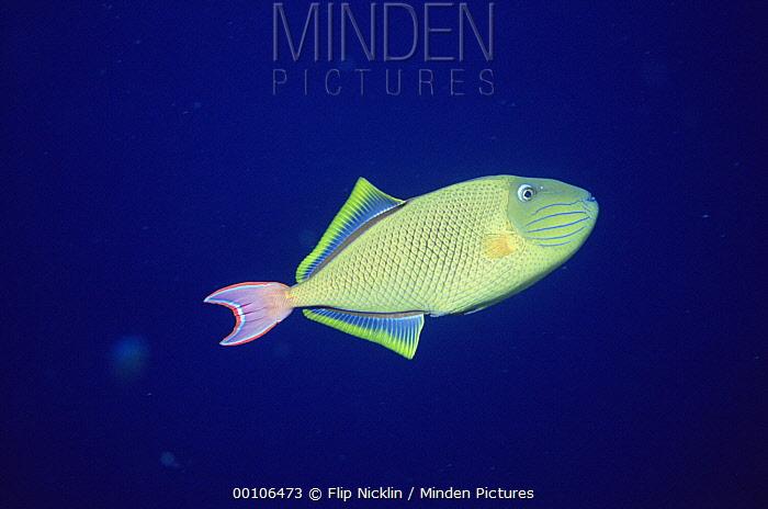 Queen Triggerfish (Balistes vetula) portrait off of Manualita Island on the west side of Cocos Island, Costa Rica  -  Flip Nicklin
