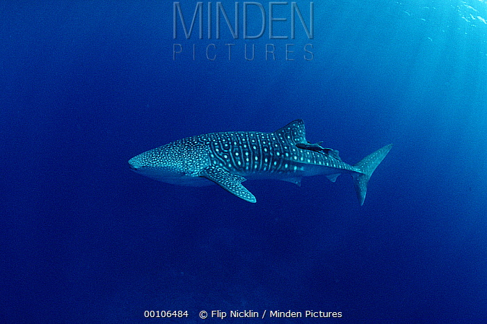 Whale Shark (Rhincodon typus) portrait, largest shark species, Cocos Island, Costa Rica  -  Flip Nicklin