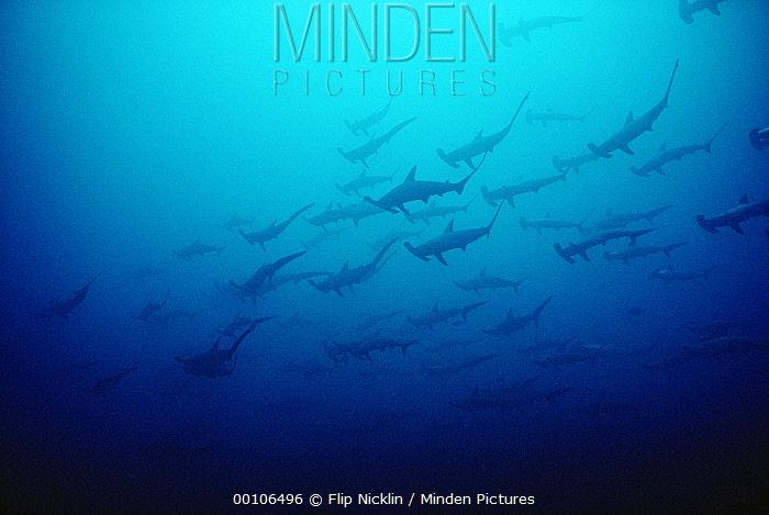 Scalloped Hammerhead Shark (Sphyrna lewini) school, Cocos Island, Costa Rica  -  Flip Nicklin