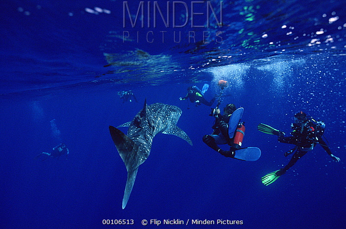 Whale Shark (Rhincodon typus) surrounded by several scuba divers, threatened, Cocos Island, Costa Rica  -  Flip Nicklin