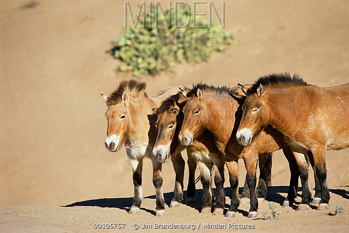 Przewalski's Horse (Equus ferus przewalskii) group, China  -  Jim Brandenburg
