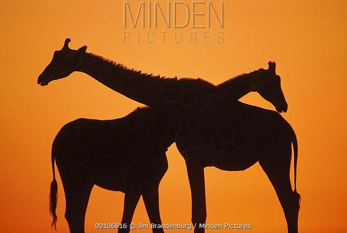 Giraffe (Giraffa sp) pair silhouetted at sunset, native to Africa  -  Jim Brandenburg