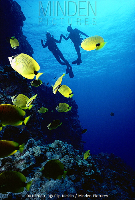 Two divers along coral reef with tropical fish, Hawaii  -  Flip Nicklin