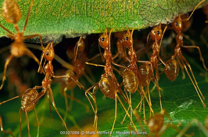 Weaver Ant (Oecophylla longinoda) group repairing leaf nest, Papua New Guinea