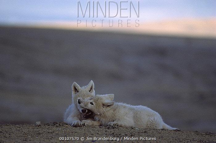 Arctic Wolf (Canis lupus) pups playing to establish dominance, Ellesmere Island, Nunavut, Canada  -  Jim Brandenburg