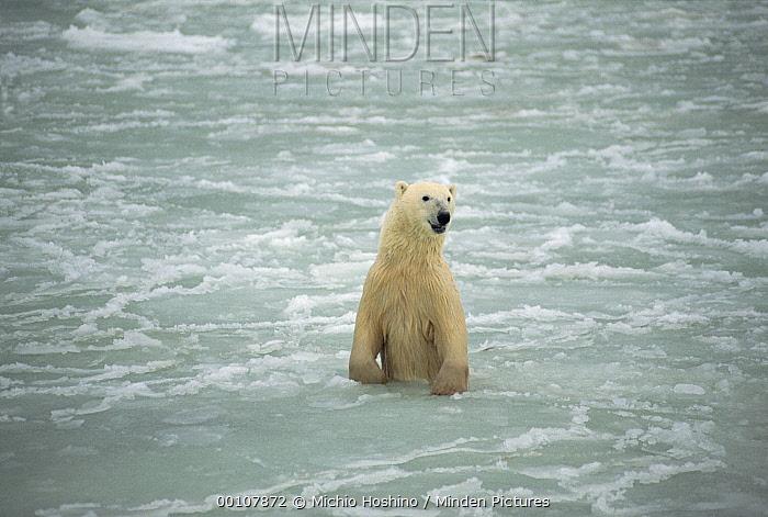 Polar Bear (Ursus maritimus) standing in icy water, Churchill, Manitoba, Canada  -  Michio Hoshino