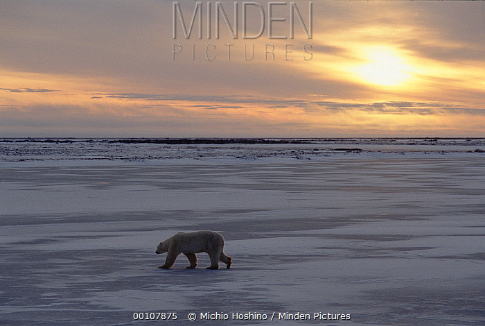 Polar Bear (Ursus maritimus) crossing icefield at sunrise, Churchill, Manitoba, Canada  -  Michio Hoshino
