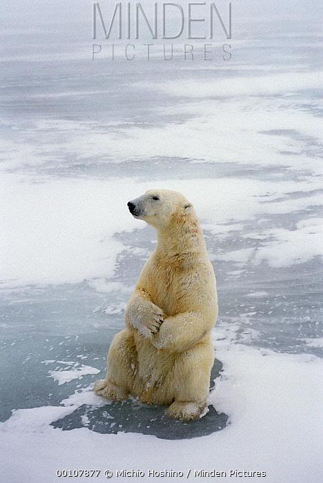 Polar Bear (Ursus maritimus) sitting upright, Churchill, Manitoba, Canada  -  Michio Hoshino